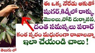 ఈ ఒక్క నేరేడుఆకు తో ఈ రోగాలన్నీ పరార్ ! || Amazing health benefits of Jamun Leaves in telugu