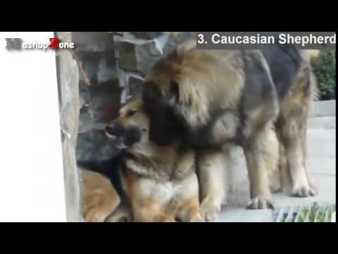 Top 10 Biggest Dogs In The World   With Funny Dog Videos By Breeds Compilation
