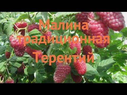 Малина традиционная Терентий 🌿 обзор: как сажать, саженцы малины Терентий