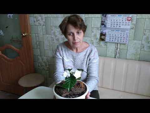Табернемонтана дивариката с душистыми  собранными в соцветия цветками