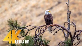 4K 60 fps American Wildlife. Part 2 - Yakima Canyon Road, Washington State, USA