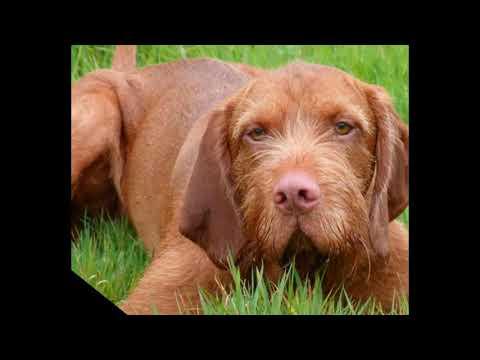 Wirehaired Vizsla - mid-size dog breed
