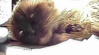 видео К чему снятся кошки. Сонник кошки во сне видеть