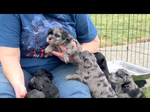 Mystery's 1/2 standard schnauzer  1/2 large miniature schnauzer cross puppies 4 weeks old