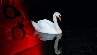 Лебідь велетень втратив все під покровом ночі - чому білий красень опинився у небезпеці