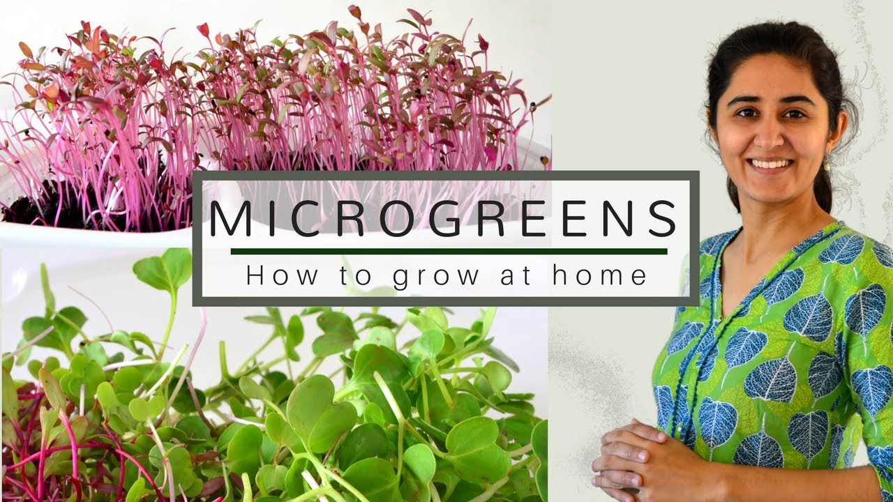 How To Grow Microgreens From Vegetable Seeds Youtube