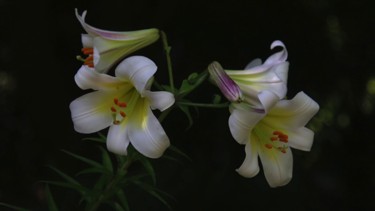 How To Dig Divide And Plant Lilies Youtube