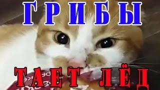 тает лед между нами тает лед. Пародия на грибы исполняют коты ))))