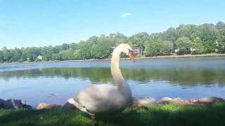 Swan and babies close encounter