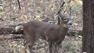 Video 6 Point Buck In Rut And Grunting download MP3, 3GP, MP4, WEBM, AVI, FLV Oktober 2018