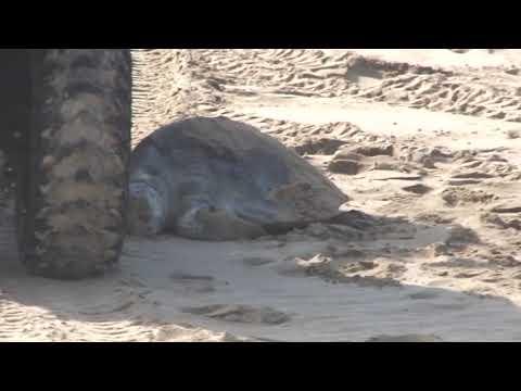 Reporta escuadrón de salvamento tortugas muertas en zonas de playa