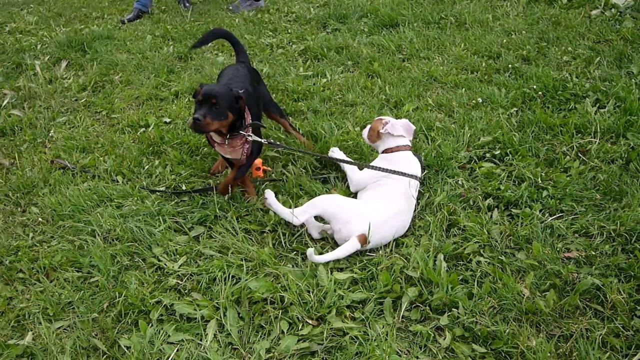 В питомнике есть щенки аргентинского дога и французского бульдога. Пожизненный патронаж опытного заводчика с 30 летним стажем работы с крупными породами. В нашем. Питомнике не держат собак в клетках и не передают щенков новым владельцам ранее 2-х месячного возраста. Собаки нашего.