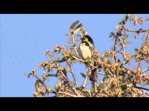 Golden-cheeked warbler clips on YouTube