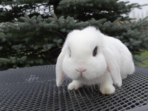 В нашем питомнике вы можете купить кроликов породы карликовый баран. Карликовые бараны в нашем питомнике разных окрасов и типов шерсти. Купить кролика карликового барана можно выбрав по фотографии на сайте.