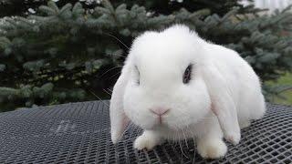 Кролик карликовый баран Хотот, декоративные породы кроликов