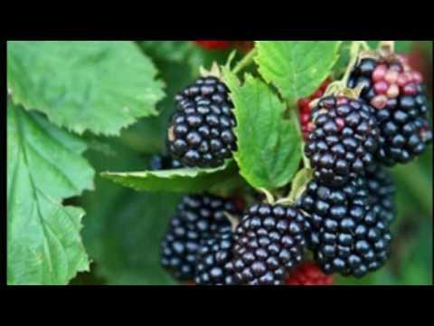 chá-de-folha-de-amora---emagrece-e-combate-a-diabetes---blackberry