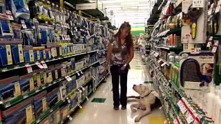 Deaf Dog Training Great Dane Tosca Off Leash Pet Supplies Plus Dogtra Remote