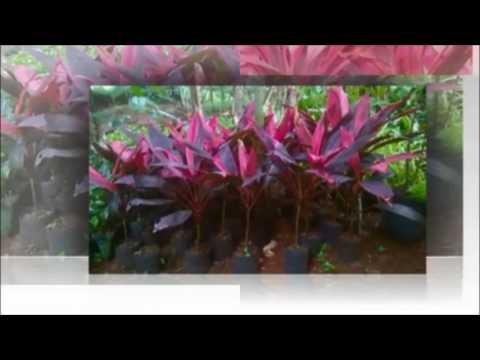 Kahsiat  tanaman herbal andong untuk Hemostatik, Antibengkak, Batuk darah dan Haid