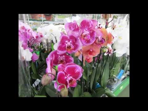 Орхидея Phalaenopsis -