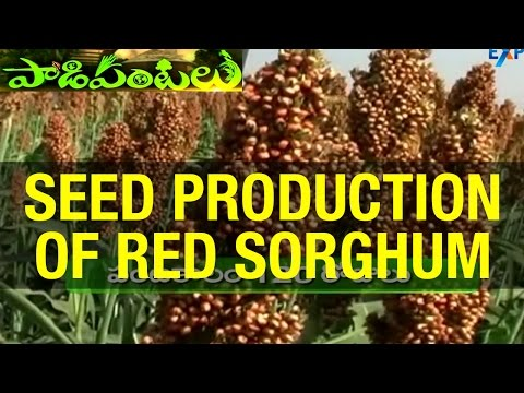 Seed Production of Red Sorghum (Yerra Jonna) in Ankapur village - Nizamabad District | Paadi Pantalu