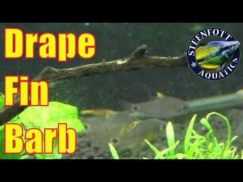 Drape Fin Barb Oreichthys Crenuchoides 10 Gallon Planted aquarium Aquasoil
