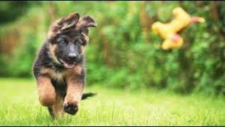 ジャーマンシェパードと子犬の映像集です   かっこいいし、しかもかわい...