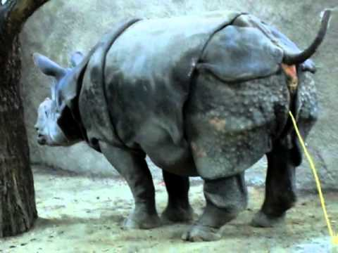 La Zoo Rihnosores Peeing Going To The Bathroom Youtube