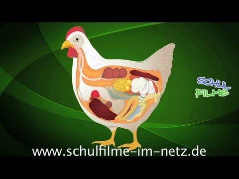 Das Huhn - Schulfilm Biologie - YouTube