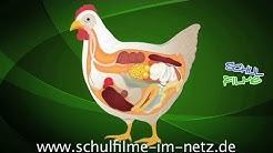 Das Huhn - Schulfilm Biologie