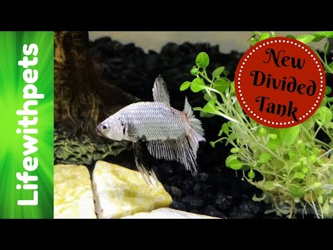 Setting Up A New 10 Gallon Divided Betta Fish Tank
