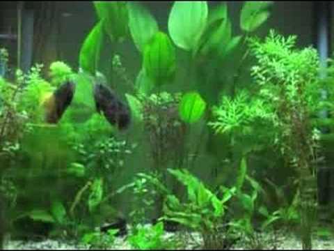 Oscar Fish - Planted Aquarium