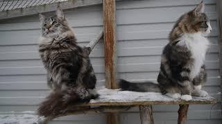 Норвежские лесные котята Pantera On Fashion Peak и Rada On Fashion Peak