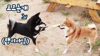 Gom Got Slapped in the Face at Shiba Playground! [Shibainu Gom&Taeng]