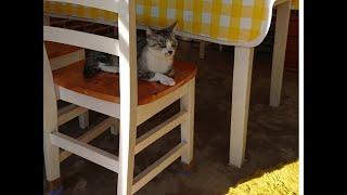 【保護猫グリ39】お外に行きたいのー!!japanese Cat Gris Wants To Go Outside For A Walk