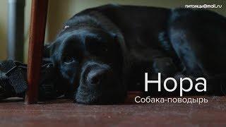 Как помогают собаки-поводыри