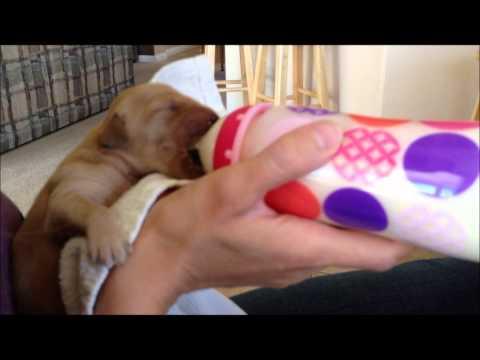 2013-04-10 Feeding Puppy From Bottle