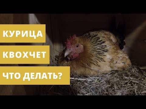 Курица села на яйца // Как отучить курицу квохтать? // Кучинская юбилейная