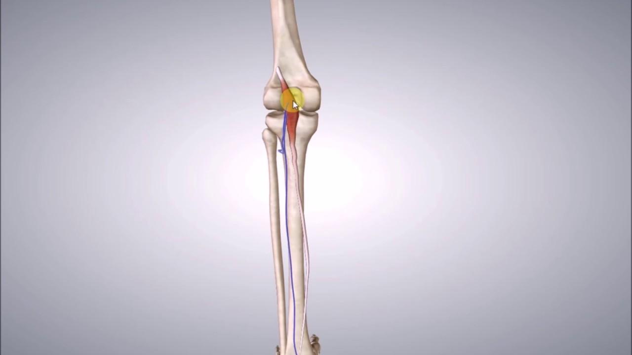 Modern Plantaris Tendon Anatomy Festooning - Anatomy and Physiology ...