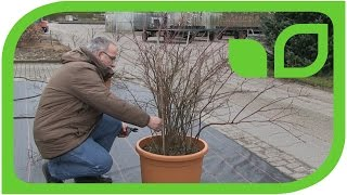 How to Prune a Big Blueberry Plant in a Pot