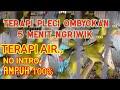 Suara Burung Ribut Riwikan Pleci Pleci Ombyokan  Mp3 - Mp4 Download