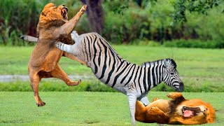 The times when prey escape from extremely violent attacks of predator - Harsh Life of Wild Animals