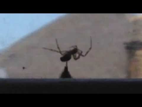 Bumblebee Rescues Other Bee From Spider's Grasp (VIDEO)