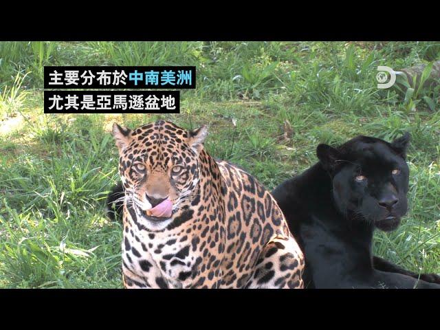 [2021世界地球日] 你不知道的Jaguar.....我在說美洲豹~