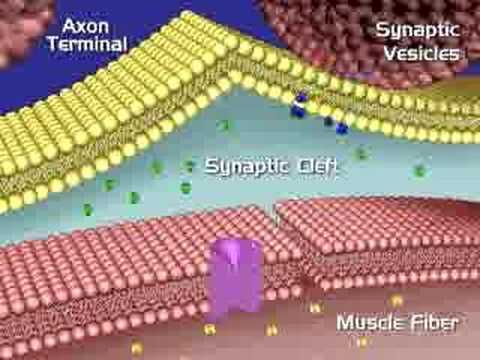 Muscular System, Neuromuscular Junction - YouTube - neuromuscular junction