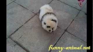 Cute panda dog 可爱的熊猫狗