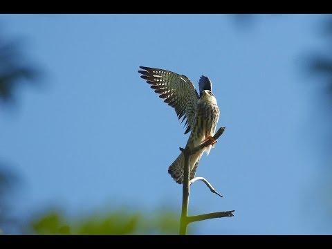 WTI's work on Amur Falcon conservation