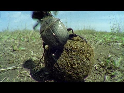 Kung Fu Dung Beetles - Narrated by David Attenborough - Operation Dung Beetle - BBC
