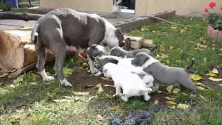 Gotti pitbulls puppies