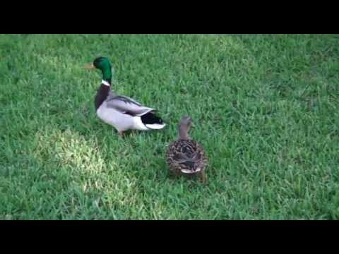 Mallard Duck Flying And Landing Youtube