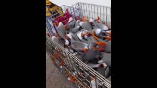 Армия кричащих гусей